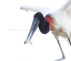 jabiru 5 (pguiraud) Tags: sergeguiraud jabiru jabiruprod brésil brasil amazonie amazon amazonia oiseaux birds aves faune pantanal