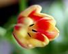 Kunterbunt zum Karneval (Antje_Neufing) Tags: tulpe blume bunt farbe frühling