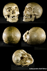 Homo sapiens (achrntatrps) Tags: crânes skulls bones os animals nikkor d800 pce45mmf28 alexandredellolivo suisse lachauxdefonds lycéeblaisecendrars collection sb900 sb800 achrntatrps achrnt atrps photographe photographer flash human humain mensch crâne homosapienssapiens hominidae homininae primates hominidés hominids