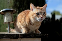 IMG_6643 Rubio, Mallorca (Fernando Sa Rapita) Tags: rubio cat gato pet mallorca canon sarapita baleares eos6d mascota kitten gatito