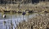 Winter Marsh (robinlamb1) Tags: nature landscape marsh bog swamp brown wintercolours winter sandhillcranes water reeds bushes reifel delta