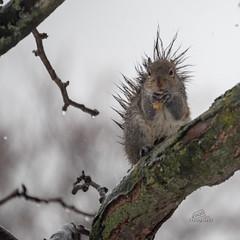 Please sir, I want some more... (_Matt_T_) Tags: explored 217 garden peanuts sigma120400mmf4556apodgos squirrel winter