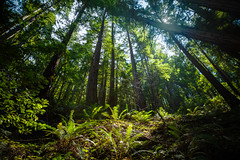 In the Forest (Darren LoPrinzi) Tags: green trees nature canon canon5d 5d miii light sunlight leaves california ca northerncalifornia redwoods redwoodforest