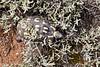 Chersina angulata (Testudinidae) (yakovlev.alexey) Tags: testudinidae southafrica calitzdorp