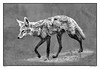 Old Coat ~ An Aaron Blaise Sketchbook Simulation (Johnrw1491) Tags: essay narrative art sketchbooks wildlife coyote nature monotone monochrome digital canine