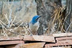 Pretty in Blue (Anna Gurule) Tags: blue bluebird birds nmbirds animals artedgy annagurule annaortizgurule