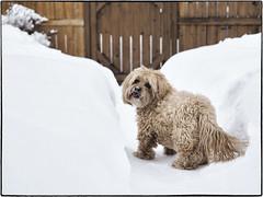 03030005 (geelog) Tags: alberta calgary ab canada snow winter dog pet deepsnow