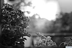 Pflanzen (DJR-FOTO) Tags: blackwhite bw sw schwarzweis schwarzweiss 4kuhd deutschland dortmund pflanze blume blumen grau schwarz noir