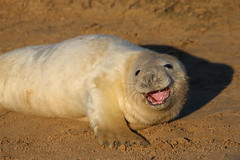 Ha Ha Ha Ha (jpotto) Tags: uk lincolnshire donnanook seal pup animal