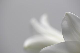 Lilium Longiflorum # 1