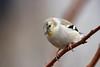 American Goldfinch (jlcummins - Washington State) Tags: bird backyardbirds home yakimacounty washingtonstate wildlife fauna finch