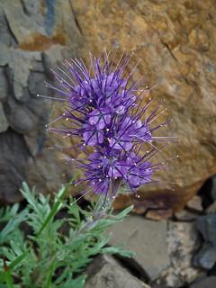 Silky Scorpionweed / Phacelia sericea, Pocaterra Cirque