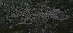 2018_0123More-Ice0002 (maineman152 (Lou)) Tags: winter winterweather badweather icestorm icecovered ice nature naturephoto naturephotography january maine