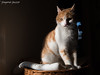 Pippo (Don Chisciotte89) Tags: cat orange pets nikon 35mm light sunset natural home 1755