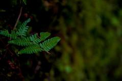 Green (Tony Shertila) Tags: betwsycoedcommunity geo:lat=5310226993 gbr rhiwddolion unitedkingdom wales geo:lon=384671688 geotagged europe plant fern polypodiopsida