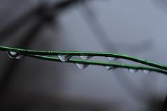 jour de pluie (bulbocode909) Tags: valais suisse ferrailles gouttes hiver vert nature fildefer