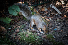 The case of the missing nuts... (The Frustrated Photog (Anthony) ADPphotography) Tags: animalsbirdsinsects brighton category eastsussex england places royalpavilion squirrel travel canon1585mm canon70d canon outdoor park soil leaves search animal wildlife nature mammal grass