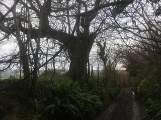 oak silhouette wide