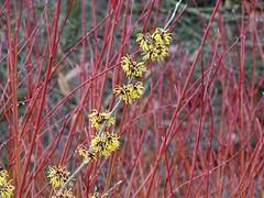 "Hamamelis ""Aurora"" with Salix alba (Kniphofia) Tags: rhsharlowcarr salix red stems hamamelis witchhazel yellow blooms winter shrubs aurora"