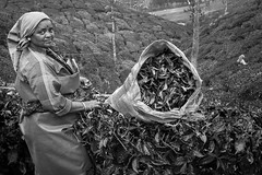 Cropping tea leaves (Wanda Amos@Old Bar) Tags: india blackandwhite mono picker tea teaplantation woman worker monochrome sack 7dwf