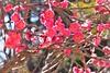 寒梅 (eriko_jpn) Tags: pinkflower prunusmume plumblossom