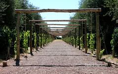 El tunel (pablovillagra2004) Tags: vino wine viticultura enología parra olivo uva vid