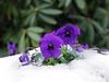 Stiefmütterchen - not amused! (rotraud_71) Tags: stiefmütterchen pansies flowers snow winter macro fantasticflower