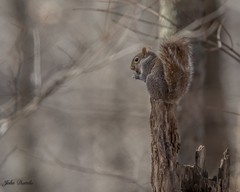 You can't have any... (flintframer) Tags: gray squirell patoka lake state park indiana eating wow dattilo america usa canon eos 7d markii ef600mm 14x wildlife nature
