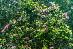 Rhododendrons in Bloom (Ralph Earlandson) Tags: redwoods california wildflower rhododendron redwoodsnationalpark