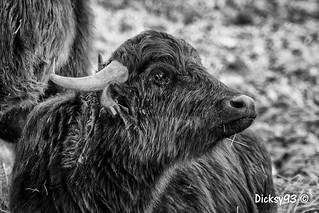 Bufflonne