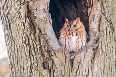 Eastern Screech Owl (gvall66) Tags: d500 easternscreechowl monmouthcounty nj nikon owl screechowl sigma150500 redmoprh