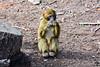 Singe magot dans la cédraie de Tikjda (Ath Salem) Tags: algérie algeria argelia nikond5200 tikjda bouira parcnationaldudjurdjura djurdjuranationalpark djurdjura جرجرة الجزائر الحديقةالوطنيةجرجرة africa northafrica afriquedunord afrique maghreb nature تيكجدة singe monkey ape magot singemagot macaque macaquedebarbarie macacasylvanus barbarymacaque barbaryape قرد scimmia mono