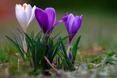 Crocus (jpto_55) Tags: fleur crocus proxi bokeh xe1 fuji fujifilm hautegaronne france omlens om85mmf2