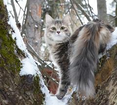 Kalinka 7 m (valerkav) Tags: сибирская кошка