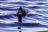 Ring-necked Duck (Chatham Sound) Tags: britishcolumbia canada 124 fauna ringnecked duck bird water nikond5 sigma150600mmsportlens vancouverisland colwood