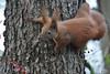 e5 (peterphot) Tags: natur sachsen sonytamron600 eichhörnchen wildtiere wildanimals januar garten