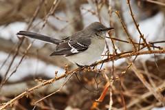 Northern mockingbird (jimbop22001) Tags: