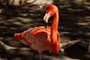flamenco phoenicopterus (guilletho) Tags: birds flamingo nature flamenco ave pajaro canon mexico