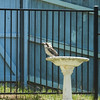 20180114-DSCF2030 (PM Clark) Tags: kookaburra xpro1 copacabana centralcoastnsw