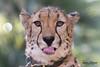 Ruuxa (ToddLahman) Tags: ruuxa animal animalambassador africancheetah beautiful mammal male outdoors sandiegozoosafaripark safaripark canon7dmkii canon canon100400 closeup portrait escondido eyelock