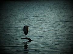 Standing On One Leg (Sat Sue) Tags: gx7mk2 gx80 gx85 apan fukuoka river bird