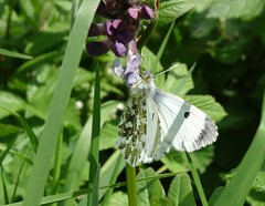 Orange-tip (f) (rockwolf) Tags: orangetip anthochariscardamines butterfly lepidoptera insect papillon uptonmagna shropshire rockwolf