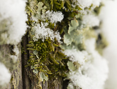 IMG_9323 (McKennaSprouse) Tags: lichen snow outside macro green moss