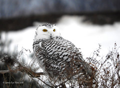 Snowy Eyes (JamesEyeViewPhotography) Tags: snowy owl birds trees snow winter january michigan jameseyeviewphotography