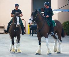 Big Horses at Fair (LarryJay99 ) Tags: westpalmbeach florida southfloridafair canon60d animals horses clydesdales uniforms helmets caps heargear tack reins faces
