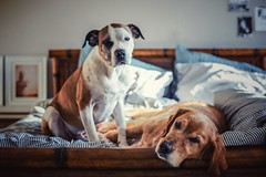 1/12 Edgar & Albert, the masters of laziness (Jutta Bauer) Tags: winter cozy bed together dogs 12monthsforedgarandalbert 12monthsfordogs