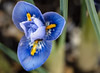Another blossom, start of February (dusk_rider) Tags: flower blue january winter nikon d7200 60mm f28d february reticulata iris