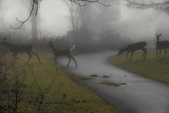Meanwhile in Ohio... (arthuroleary) Tags: trail hike hiking photo fz1000 lumix lumixphotography fog mist moody deer ohio midwest columbusohio
