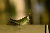 DSC_0157 (Hachimaki123) Tags: 日本 japan animal 動物 insect insecto saltamontes grasshopper バッタ 虫 nara 奈良 萬葉植物園 manyobotanicalgardens