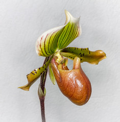 Lady Slipper Orchid (tresed47) Tags: 2018 201802feb 20180208longwoodflowers canon7d chestercounty content february flowers folder longwoodgardens orchid pennsylvania peterscamera petersphotos places season takenby us winter